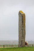Sheep seeks windbreak behind Standing Stone, Megalithic, Storm, Stenness, Orkney, Scotland UK