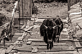Two yaks walk in Tibet over a simple bridge made of floorboards framed by prayer flags
