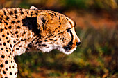 Close-up of a concentrated cheetah chasing its prey in a breeding station