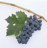 Cabernet-Sauvignon grapes with vine leaf and branch