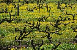 Vines among mustard flowers, Magill, S. Australia