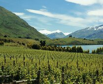 Rippon Vineyard by Lake Wanaka in Central Otago, N. Zealand