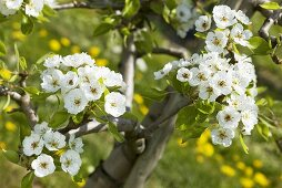Pear blossom on a tree (variety: Clapps Favourite)