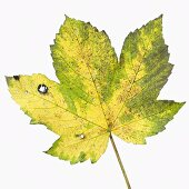 Sycamore leaf with autumn tints (Acer pseudoplatanus)