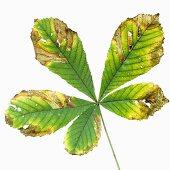 Chestnut leaf with autumn tints