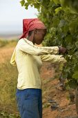 Woman picking grapes, Groote Post Estate, South Africa