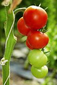 Tomatoes on the plant in a greenhouse