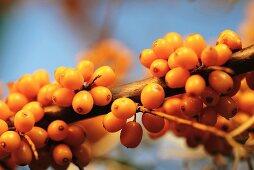 Sea buckthorn berries on branch