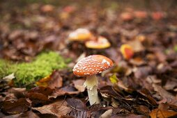 Fly agaric mushrooms in dead leaves in mixed forest