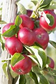 Red apples, variety 'Akane', on the tree
