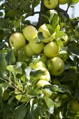 Apples, variety 'Greensleeves', on the tree