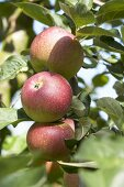 Apples, variety 'Kaiser Wilhelm', on the branch