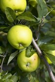 Apples, variety 'Lombarts Calville', on the tree