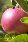 Red apple, variety 'Mitchgla', with ladybird on the tree