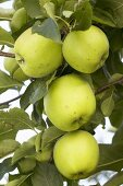 Green apples, variety 'Mutsu', on the tree