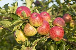 Apples, variety 'Pepin d'Or', on the tree