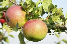 Apples, variety 'Speon', on the tree