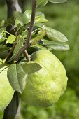 Pear, variety 'De Naghir', on the branch