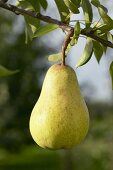 Pear, variety 'Williams Bon Chretien', on the branch