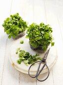 Stomatium agninum (young plants) with herb scissors