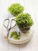 Mustard sprouts with herb scissors