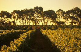 Cape Mentelle Vineyard, Margaret River, Australia