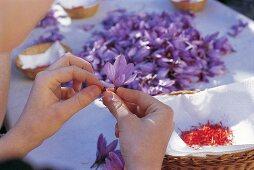 Taking saffron threads from a crocus