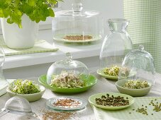 Various sprouting seeds by kitchen window