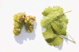 White wine grapes, variety 'Bacchus'