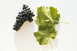 Red wine grapes, variety 'Blauer Portugieser'