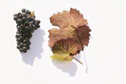 Red wine grapes, variety 'Blauburger'