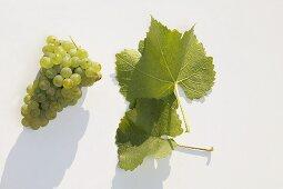 White wine grapes, variety 'Grüner Silvaner'