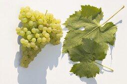 White wine grapes, variety 'Grüner Veltliner'
