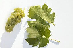White wine grapes, variety 'Müller-Thurgau'