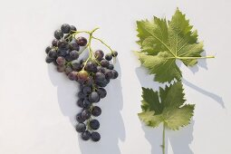 Red wine grapes, variety 'Muskat Trollinger'