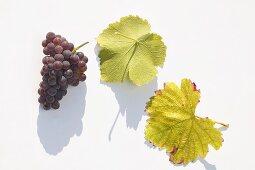 Red wine grapes, variety 'Schwarzer Silvaner'