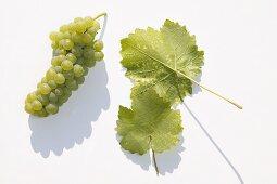 White wine grapes, variety 'Scheurebe'