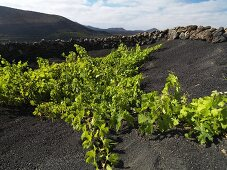 A vineyard growing on a lava flow, Lanzarote