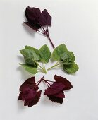 Purple, green and red garden orache