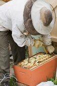 A beekeeper harvesting honey