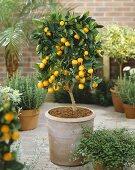 Small calamondin tree