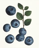 Several blueberries against white background