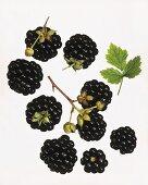 Blackberries against white background