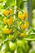 'Cerise yellow' organic tomatoes