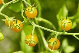 'Yellow currant' oragnic wild tomatoes