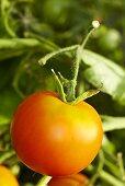 'Ida Gold' organic tomatoes