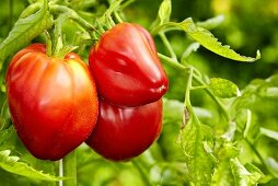 'Beefsteak' organic tomatoes
