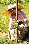 A worker tying a vine in an oriental vineyard