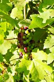 Grapes on a vine (Asia)
