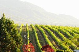 A view over a vineyard in Asia